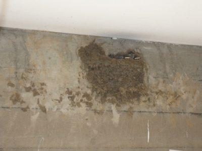 聖堂の入口に作られたツバメの巣を覗くと、かわいい黒い頭が見えました。