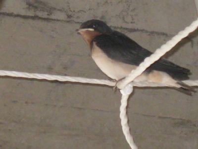 しばらくして見に行くと、巣の前の綱につかまっていました。親とはくちばしが違います。