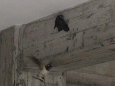 飛び立ちました。まだ外には行けなくて、壁にペタッとしがみついています。